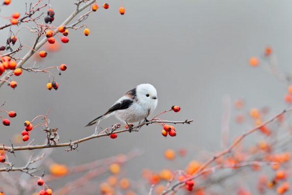 comptez les oiseaux : la mésange à longue queue - Hortus Focus