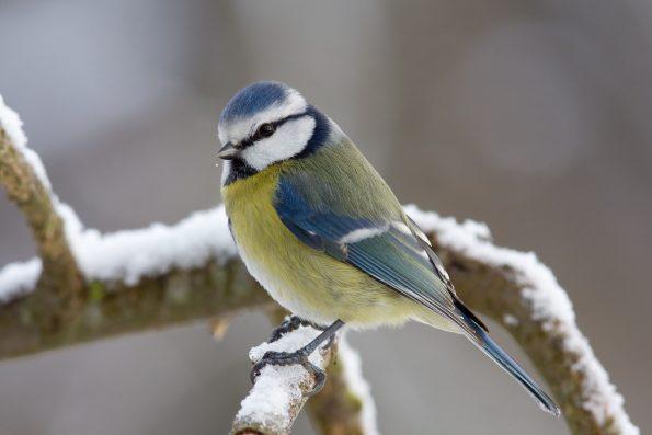 comptez les oiseaux : la mésange bleue - Hortus Focus