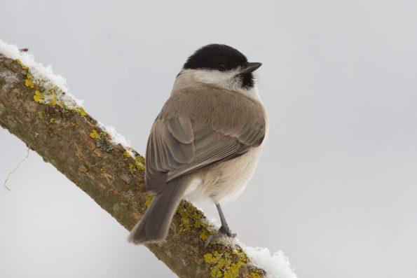 comptez les oiseaux : la mésange nonnette - Hortus Focus