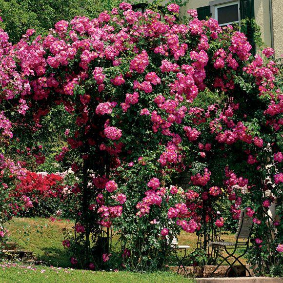 Rosiers grimpants 15 valeurs s res hortus focus i mag - A quel moment tailler les rosiers ...