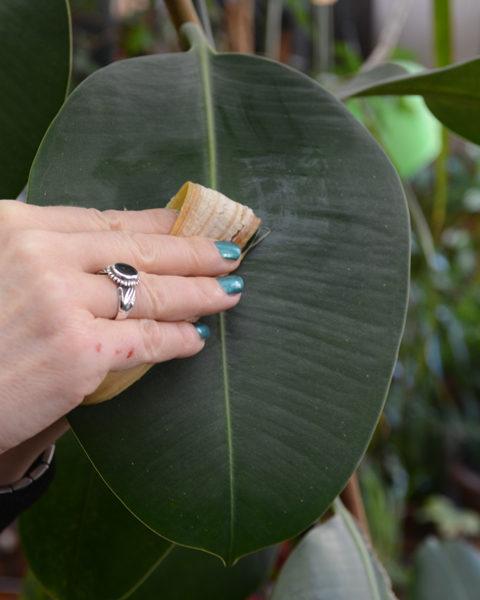 Nettoyage des plantes avec une peau de banane