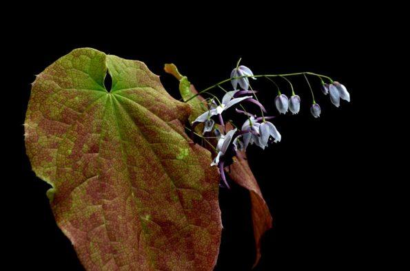 Epimedium simplicifolium