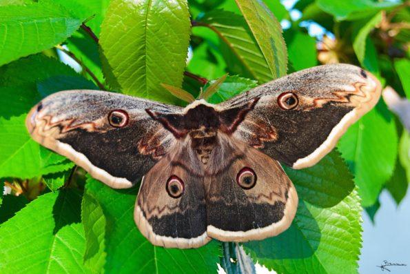 Pièges à phéromones : papillon Grand paon de nuit