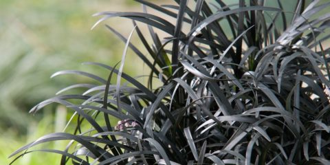 Ophiopogon planiscapus 'Nigrescens', barbe de serpent
