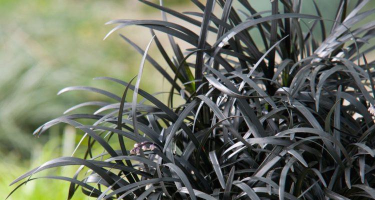 Ophiopogon planiscapus 'Nigrescens', barbe de serpent