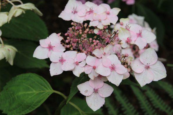 Arbustes très florifères. Fleurs plates en bonnet de dentelle, mauve chez 'Lilacina', bleu intense à lilas-rose chez 'Perfecta' en fonction de l'acidité du sol, blanche pour 'Grandiflora'.
