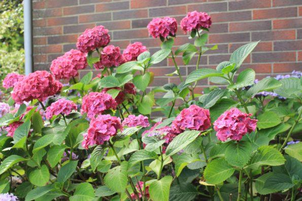 Arbuste vigoureux, inflorescence en boule rose-rouge à rouge, grand développement