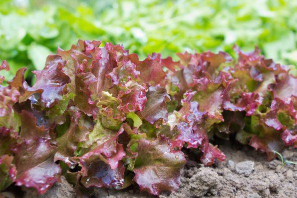 Plantes indéfrisables : 'Lollo Rossa'