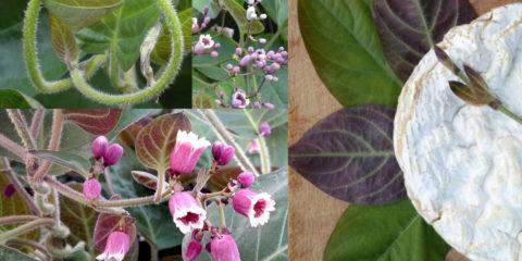 plante au goût de camembert - Hortus Focus