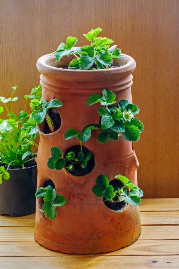 planter des fraisiers au jardin ou en pot hortus focus i mag. Black Bedroom Furniture Sets. Home Design Ideas