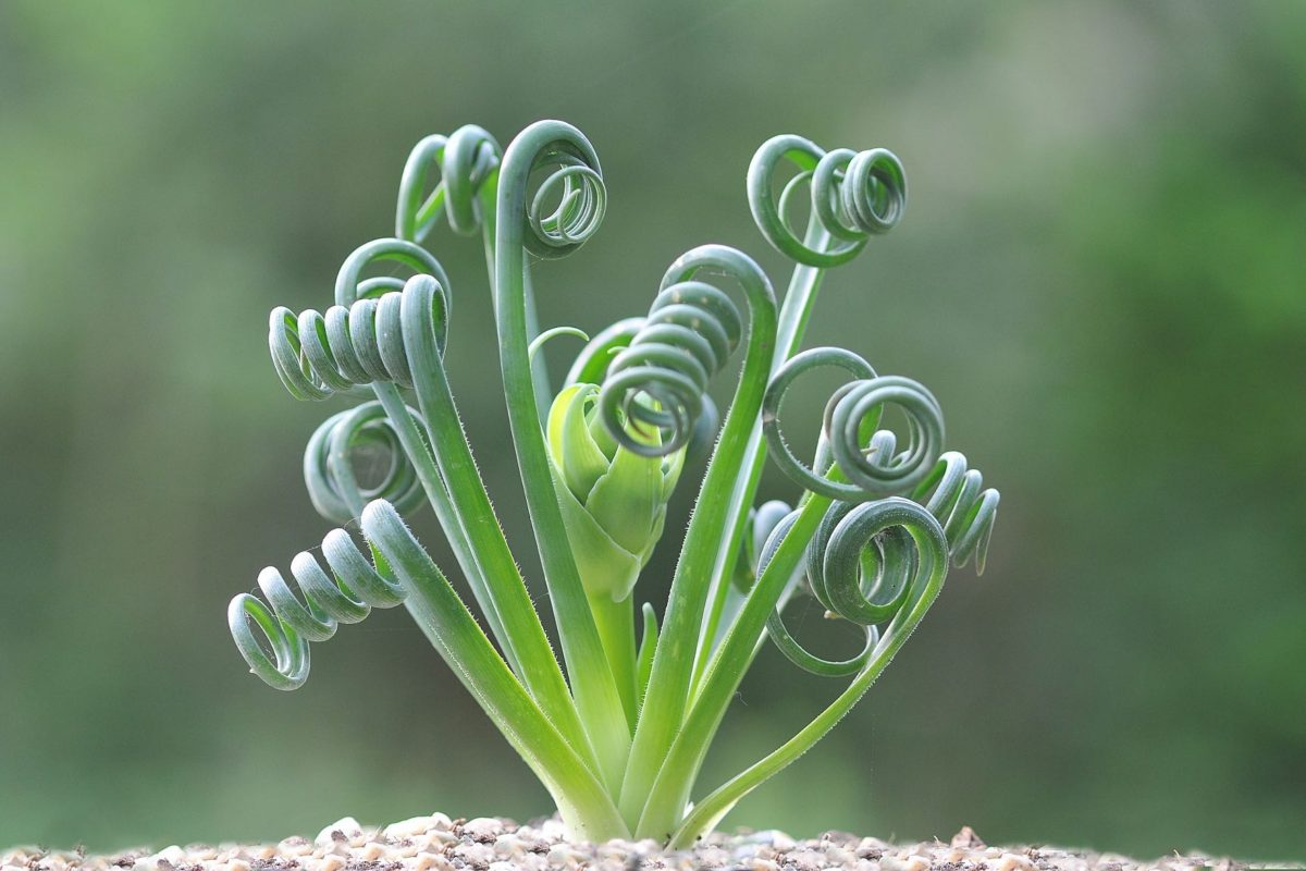Albuca spiralis - albuca spiralée - Hortus Focus