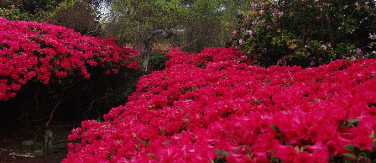 Rhododendrons du Domaine de Boutiguéry