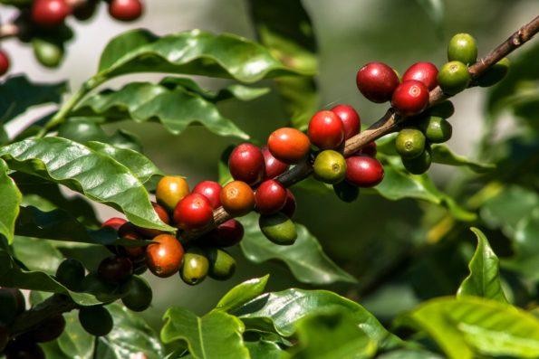 fruit deu caféier