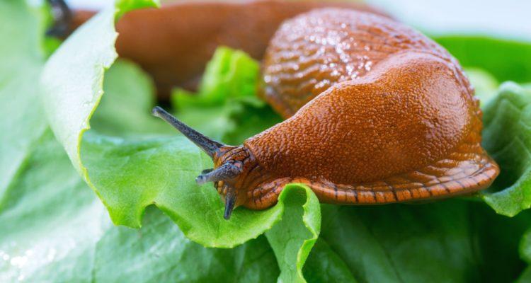 limace sur feuille de salade
