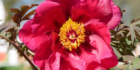 pivoines : chinese dragon