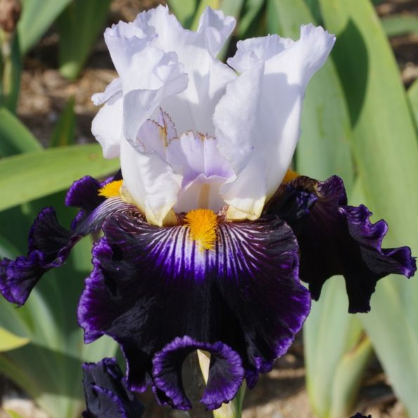 Iris : 'As de Pique'