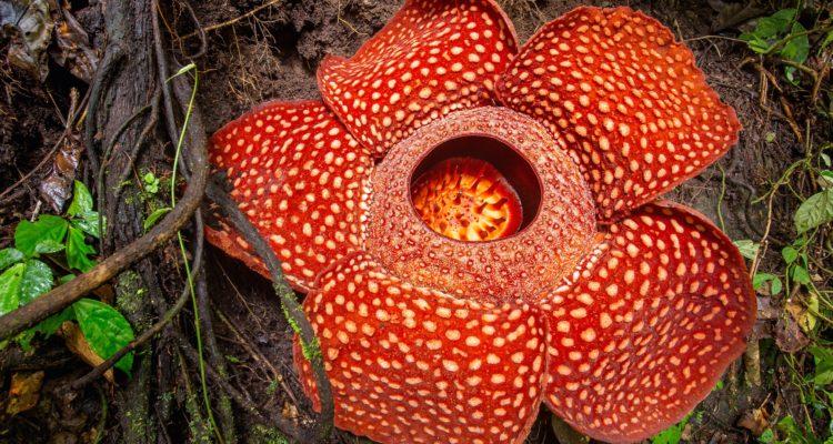 La plus grande fleur du monde : rafflesia arnoldii