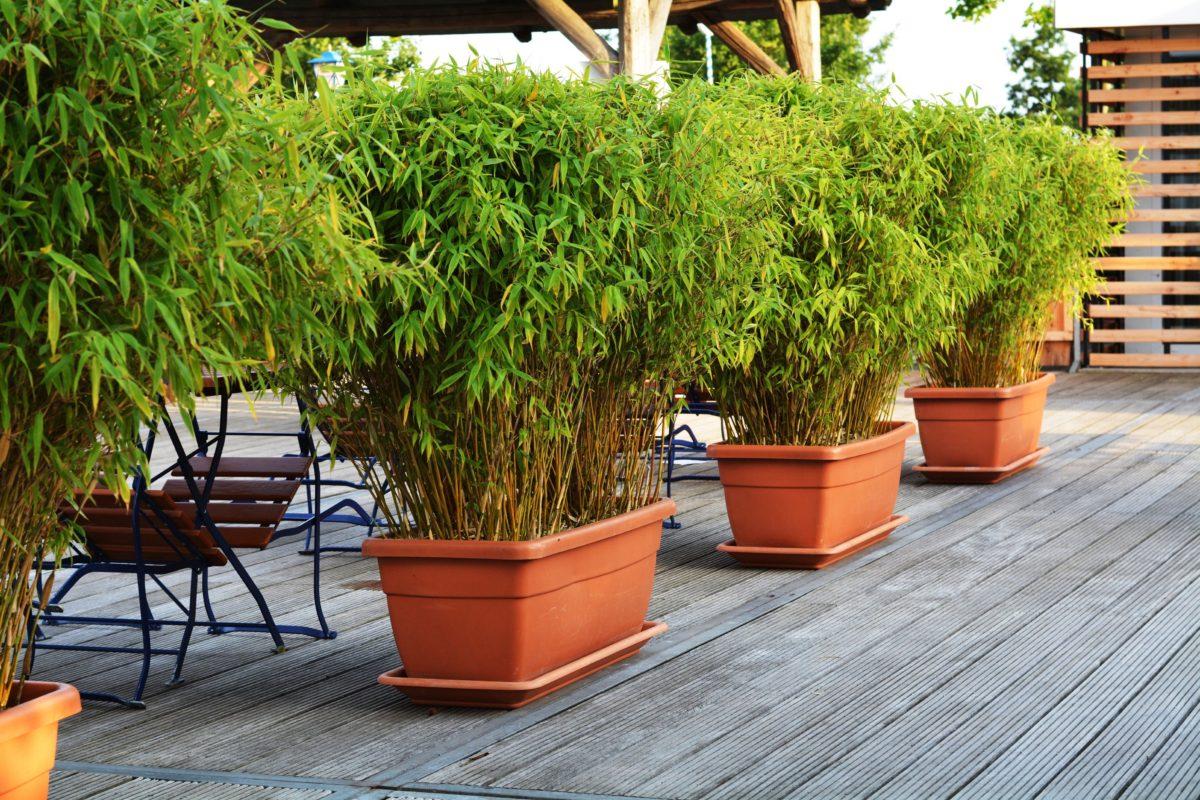 des bambous à cultiver en pot | hortus focus i mag