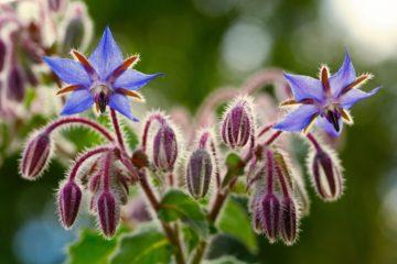 Borago officinalis - Hortus Focus