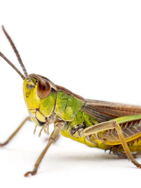 manger des insectes : criquet