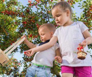 cueillette des cerises par deux enfants