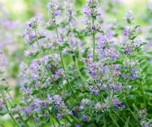 anti moustique, nepeta catarina - ikuyan - Hortus Focus