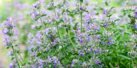 anti moustique, nepeta catarina - ikuyan - Hortus Focus