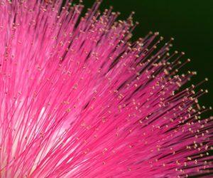 Albizia julibrissin - arbre de soie - Jannick Tessier - Hortus Focus
