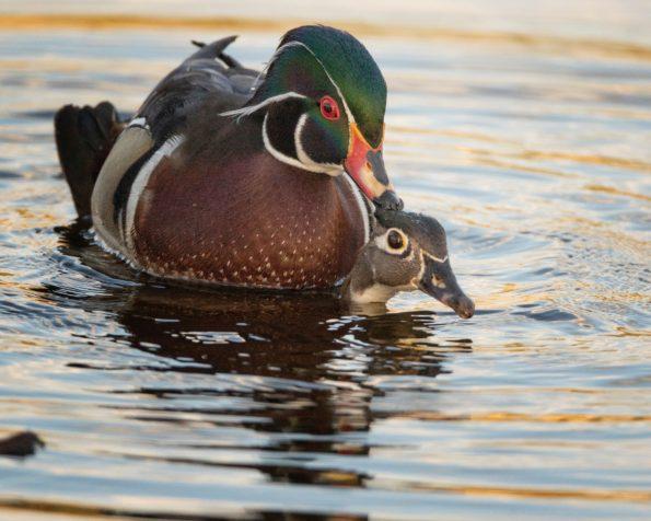 bêtes de sexe : canards