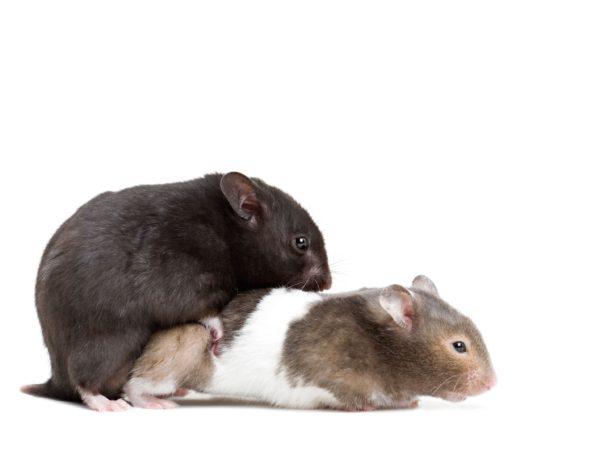 bêtes de sexe : hamsters