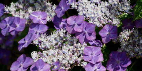 Bouturer les hydrangeas : Hydrangea serrata 'Yoi-no-oshi'