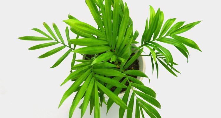 palmier nain - chamaedorea elegans - palmier pour l'intérieur - Hortus Focus
