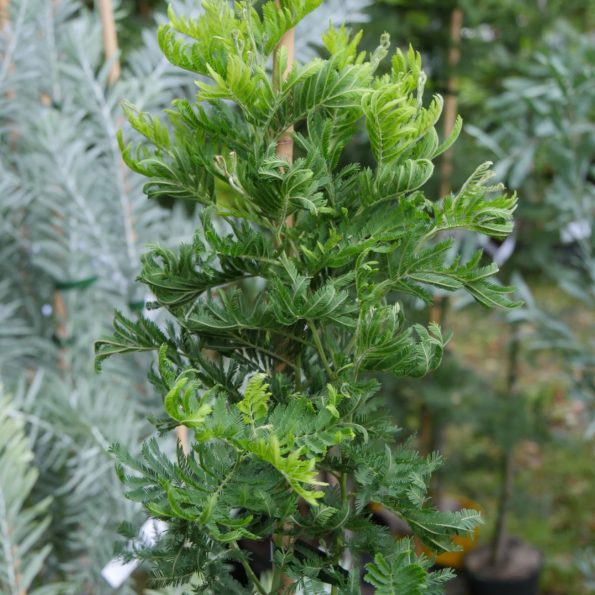 mimosa en pot : Acacia dealbata