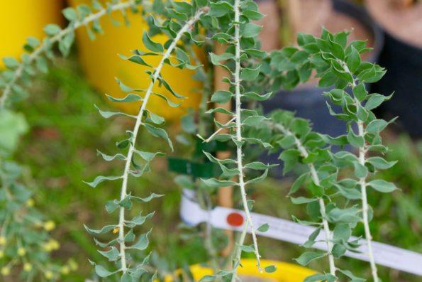 mimosa en pot : Acacia uncinata