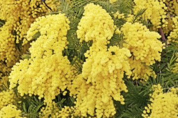 mimosa en pot