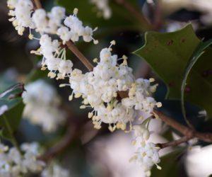 Osmanthus burkwoodii - Hortus Focus