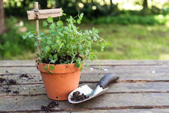 plante aromatique : sanguisorba minor - pimprenelle des jardins