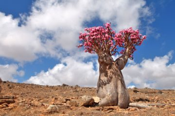 adenium obesum, la rose du désert