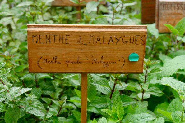 menthe de malaygues