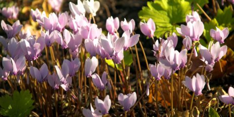 cyclamen de Naples - cyclamen hederifolium