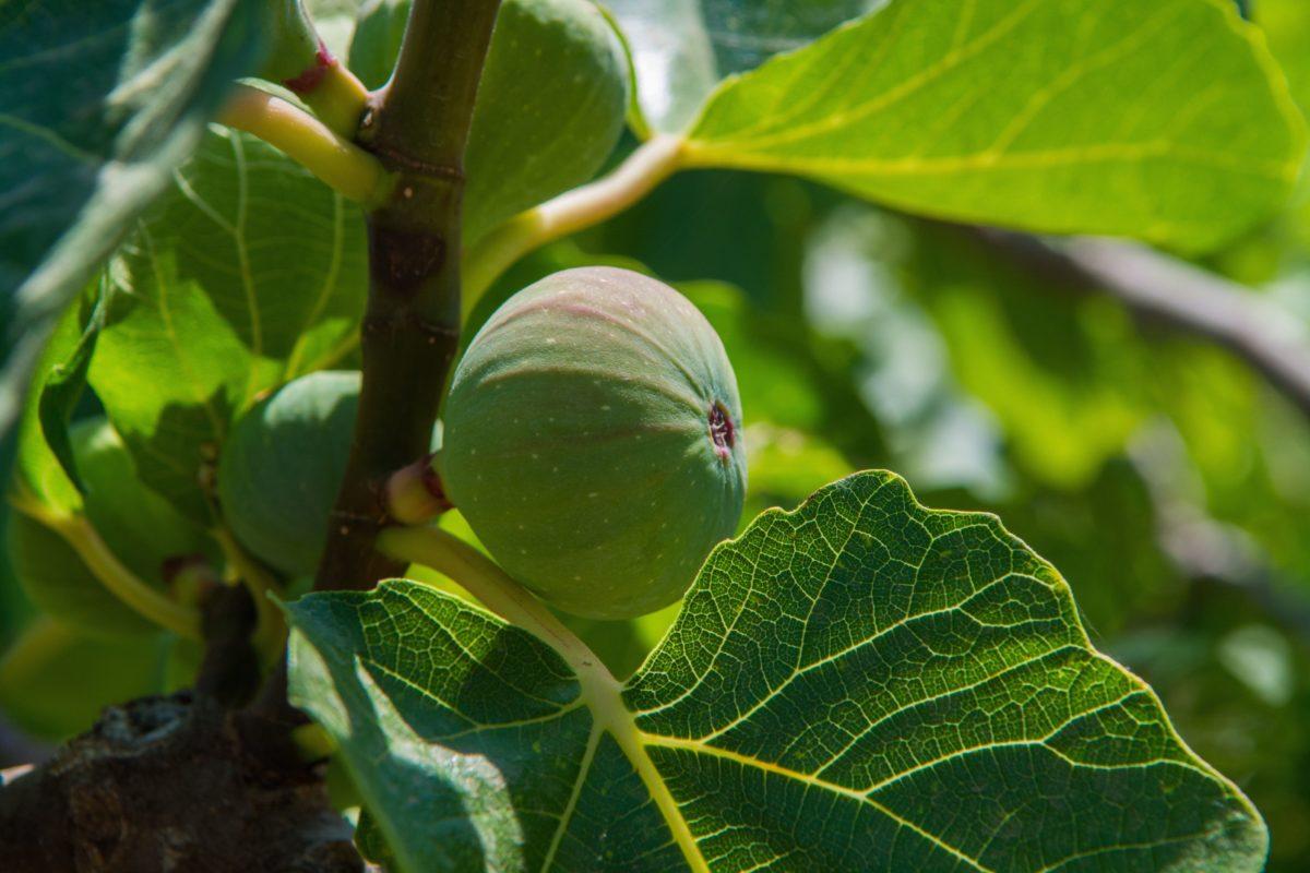 choisir, planter et palisser un figuier | hortus focus i mag