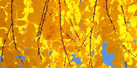 Cercidiphyllum japonicum - arbre au caramel - Hortus Focus