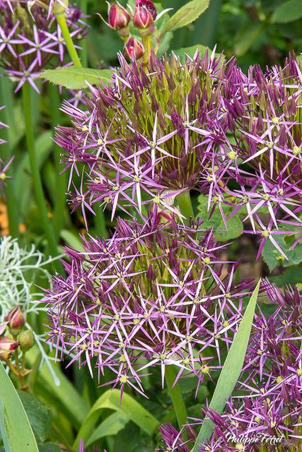 aulx : Allium christophii et rose