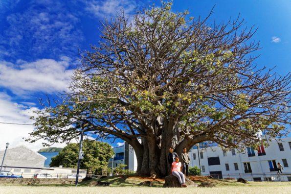 arbre : baobab de Saint-Denis