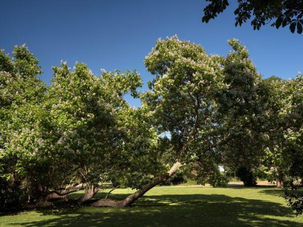 arbre préféré : catalpa