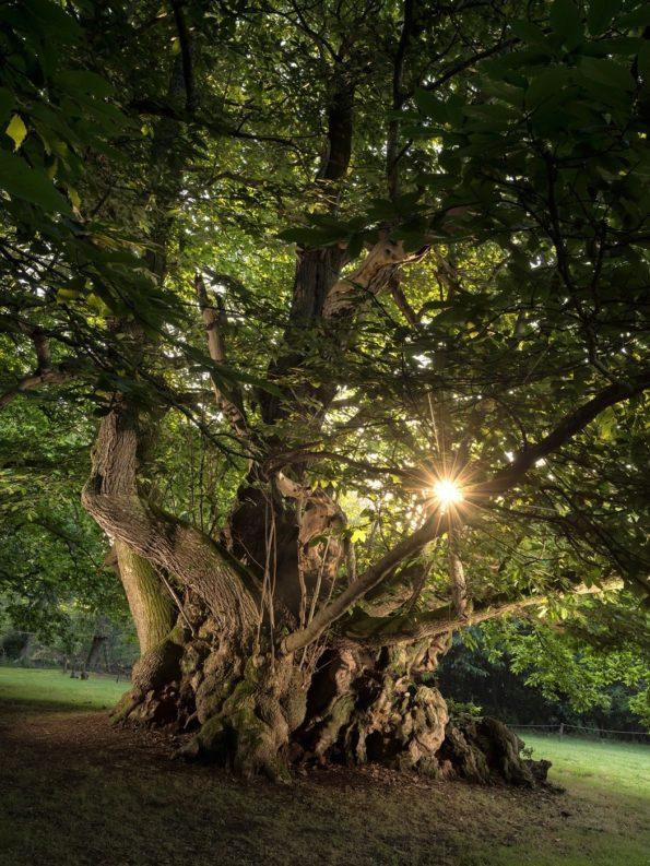 arbre : châtaignier de Kerséoc'h