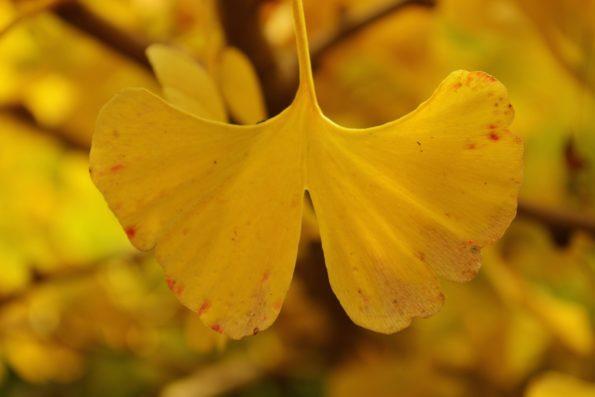 feuilles : Ginkgo biloba