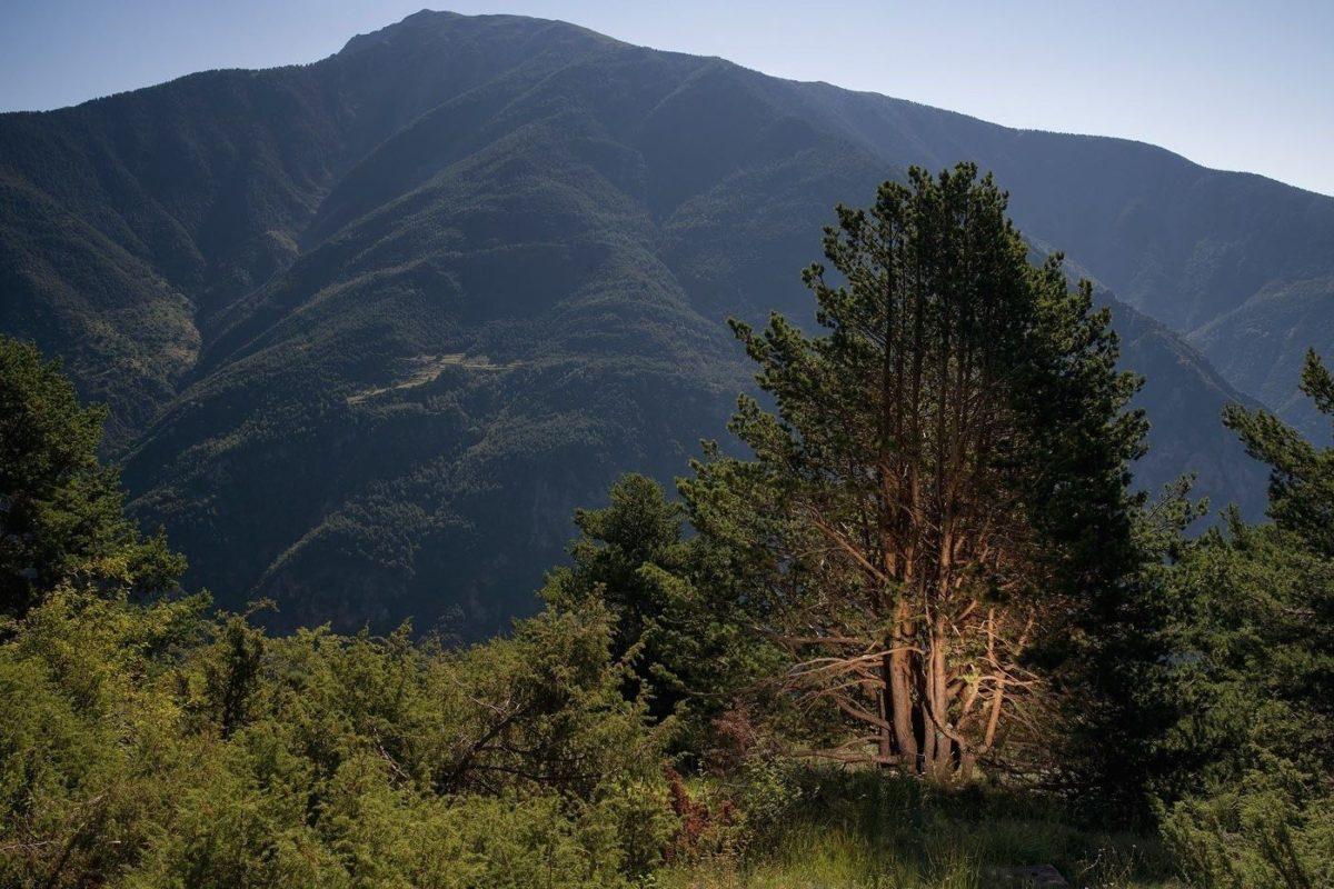 pin sylvestre