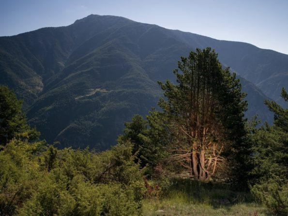 arbre préféré : pin sylvestre