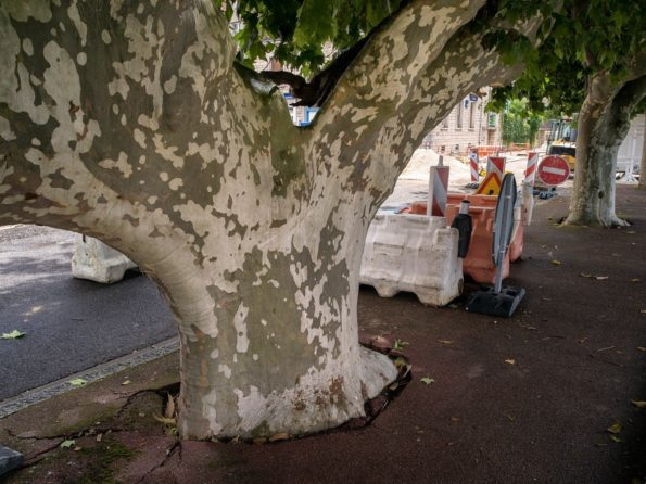 arbre préféré : platane de Gien